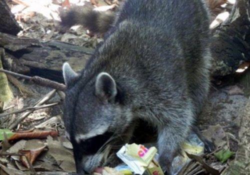 Repelentes ahuyentan mapaches de refugios en casas y edificios