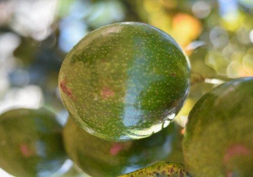 OMC mantiene en vilo a productores de aguacate