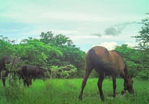 Caballos sí ayudan a la conservación del bosque seco