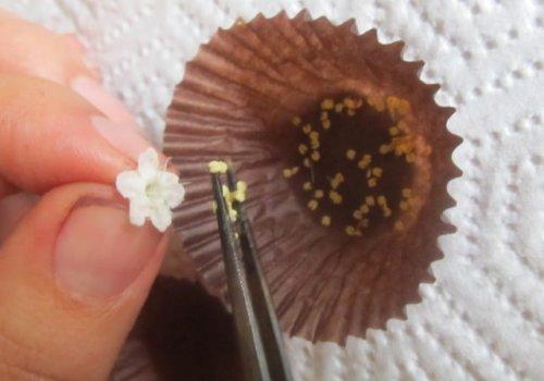 Impulsan manejo y conservación de polen de teca y melina