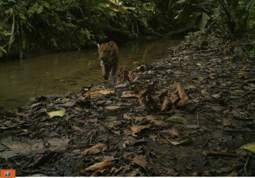 Programa Jaguar de la Universidad Nacional: 26 años protegiendo al felino más grande del país.