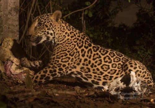 Estudios del Icomvis permiten conocer conducta del jaguar
