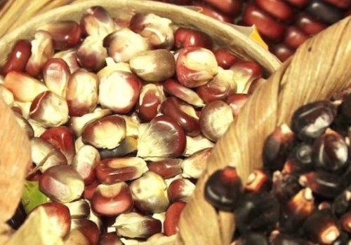 Resguardan semillas de maíz criollo para futuras generaciones