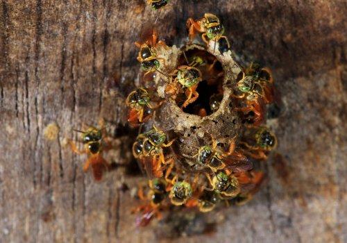 Evalúan potencial de miel para uso veterinario