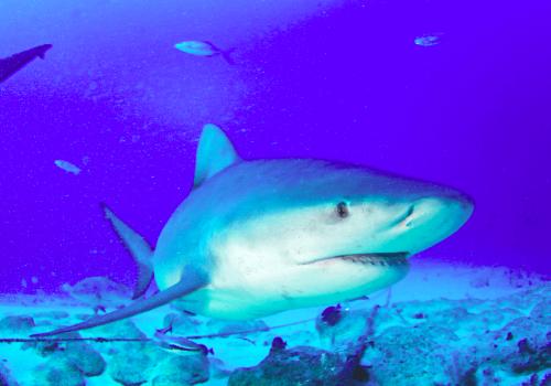 Protección a tiburones toro beneficiaría la pesca artesanal