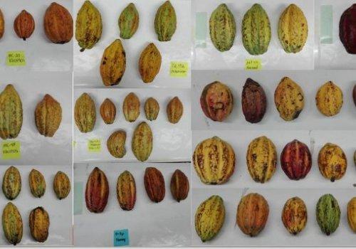 Cacao tendría aroma y sabor con calidad controlada
