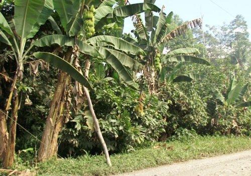 Plantaciones  indígenas de plátano son más sostenibles