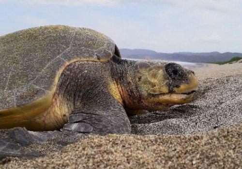 Jaguar no es una amenaza para las tortugas marinas