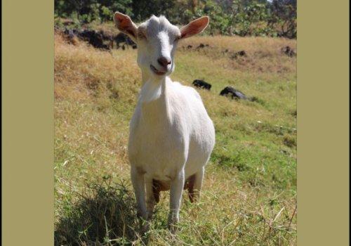 Reportan alta prevalencia de parásito abortivo en ovejas y cabra