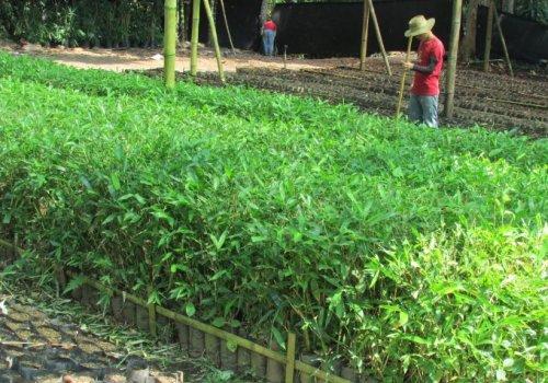 Innovación y tecnología aliados para  la producción de bambú en Costa Rica