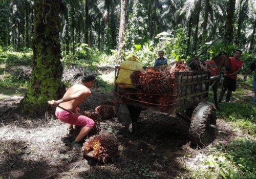 Urge regular trabajo en cultivo de palma aceitera