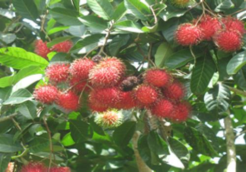 Frutas ticas contra cáncer y bacterias